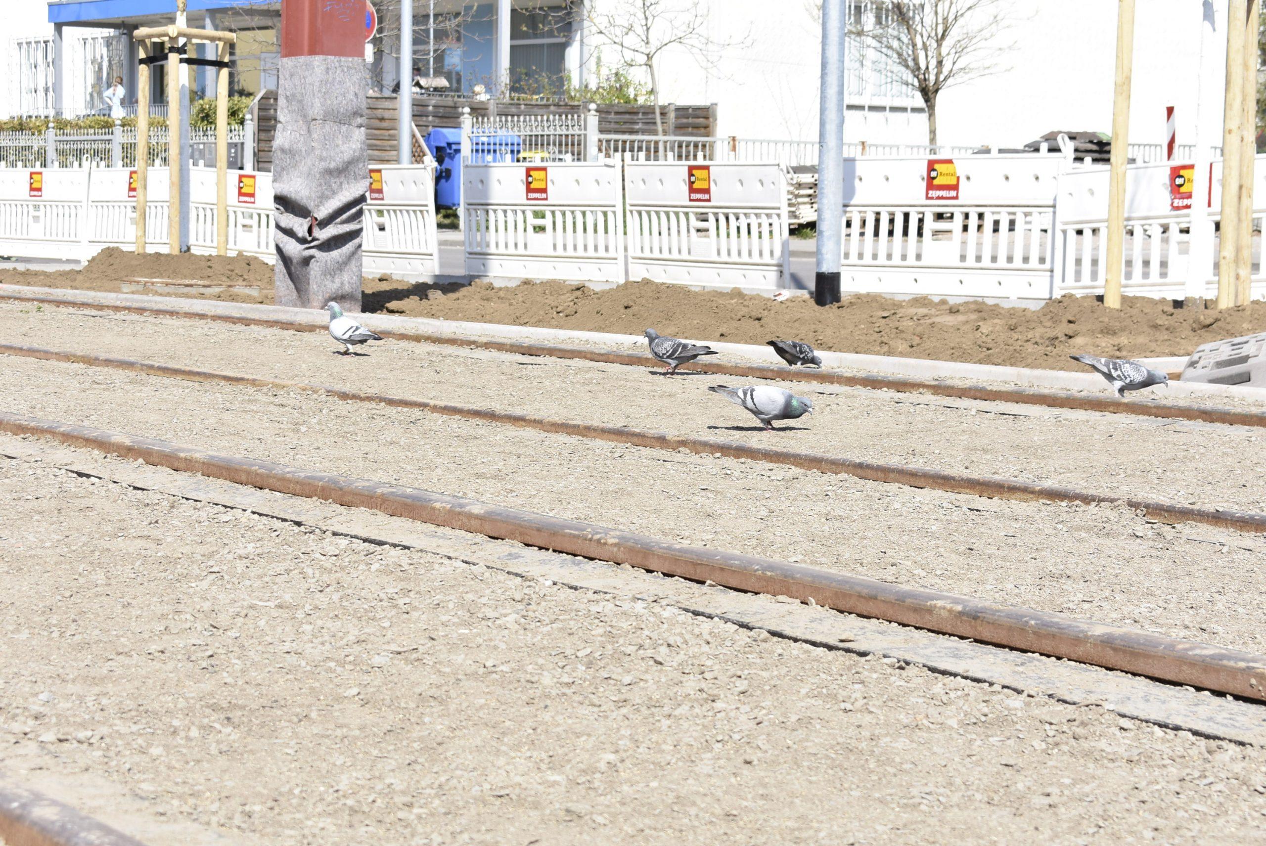 Erfreuen sich an der Rasensaat: Tauben im Gleis.